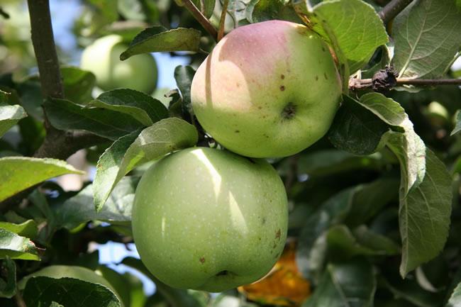 bild von äpfeln