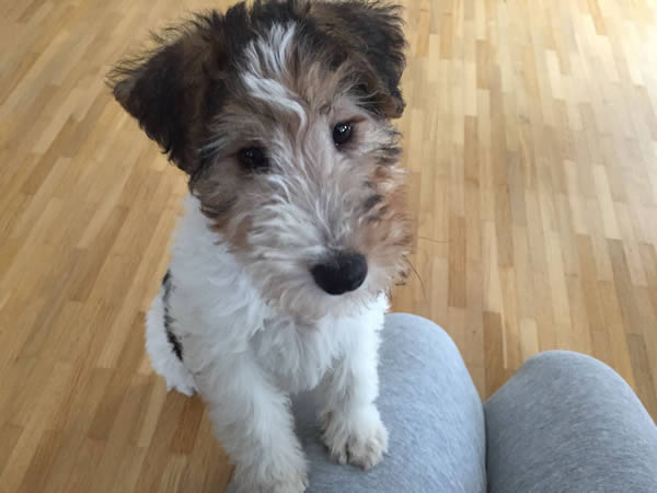 foxterrier amy