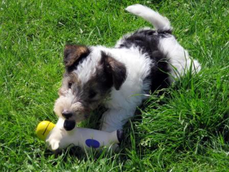 Drahthaar terrier welpen
