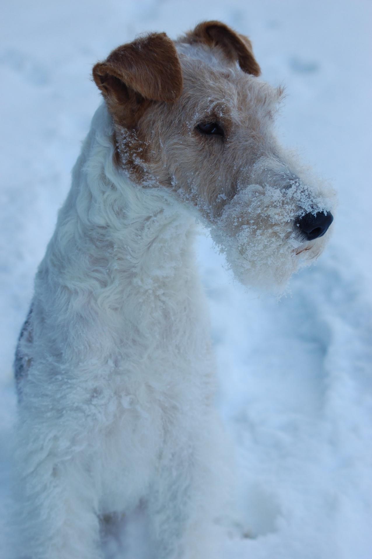 Nett Draht Haar Fox Terrier Züchter Bilder - Der Schaltplan ...