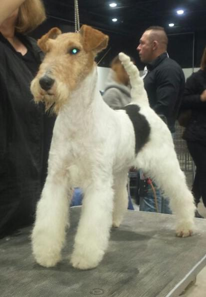 foxterrier hündin hella of fair play