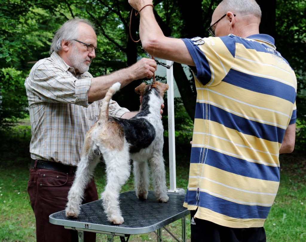 Foxterrier Trimmtag 2019
