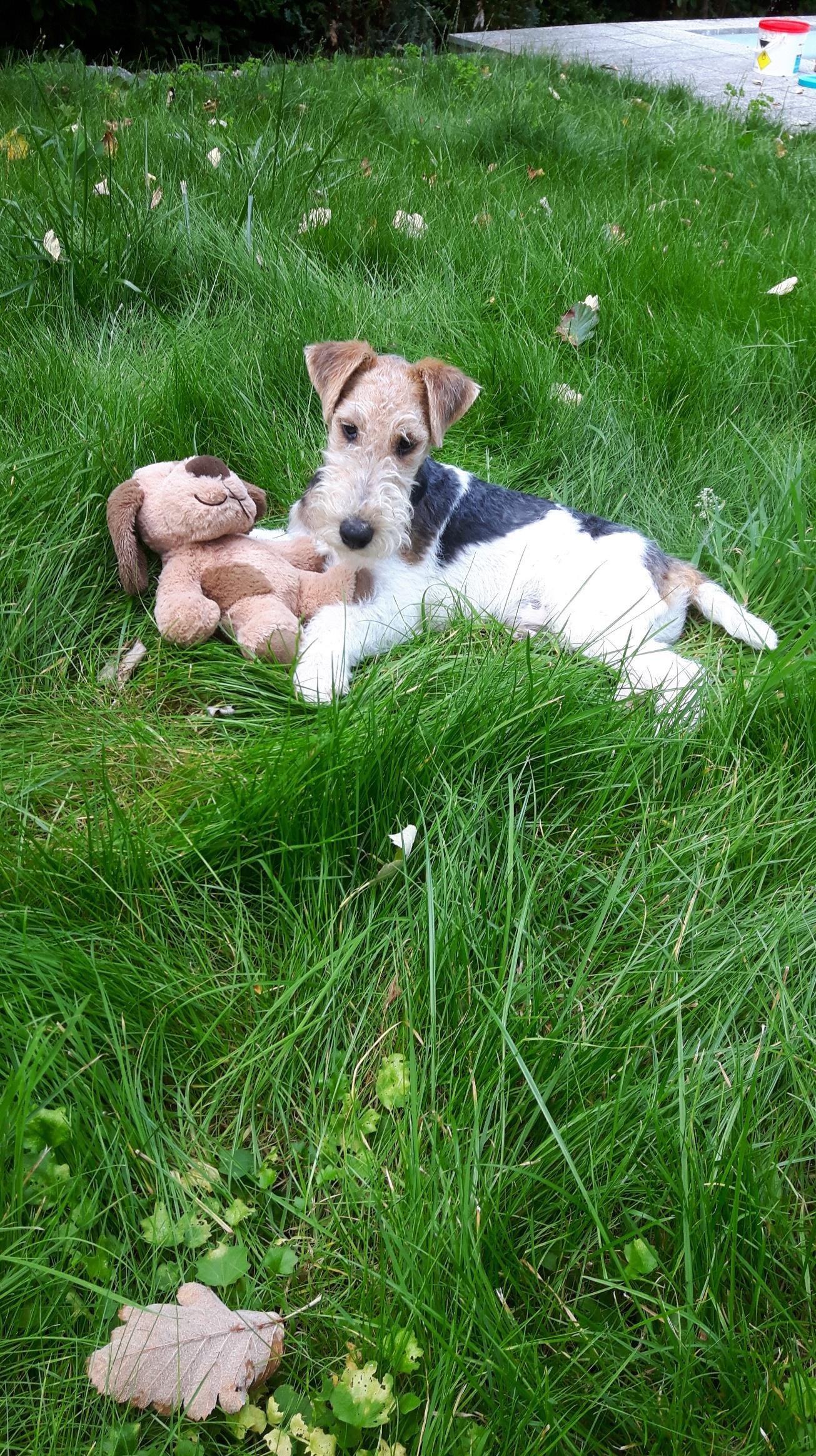 Drahthaar Foxterrier Welpen of fair play