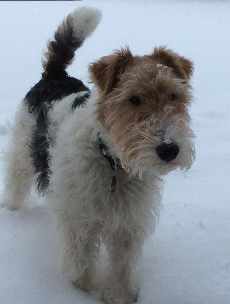 drahthaar foxterrier im schnee